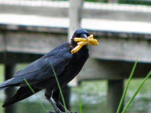 Black-bird-french-fry