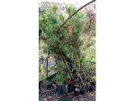 Lot: 1 - (60) Austrian Pine Trees