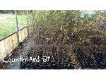Lot: 7 - (170) Crape Myrtle Trees