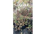 Lot: 9 - (17) Crape Myrtle Trees