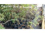 Lot: 10 - (60) Mexican Bird of Paradise Shrubs