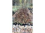 Lot: 14 - (150) Buttonbush Shrubs