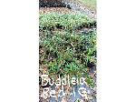 Lot: 15 - (19) Butterfly Bushes