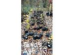 Lot: 16 - (100) Texas Ash Trees