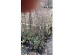 Lot: 17 - (240) Crape Myrtle Trees