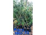 Lot: 18 - (25) Holly Mary Nell  Shrubs
