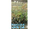 Lot: 19 - (45) Mexican White Oak Trees