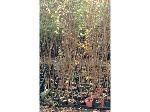 Lot: 20 - (150) Crape Myrtle Trees