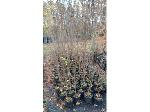 Lot: 21 - (250) Crape Myrtle Trees