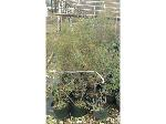 Lot: 22 - (55) Wax Myrtle Shrubs