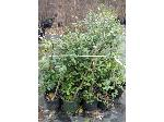 Lot: 23 - (10) Holly East Palatka  Shrub