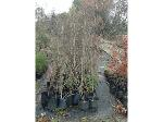 Lot: 25 - (45) Crape Myrtle Trees