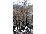 Lot: 35 - (57) Crape Myrtle Trees