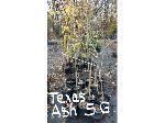 Lot: 43 - (10) Texas Ash Trees