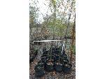 Lot: 44 - (29) Willow Oak Trees