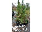 Lot: 45 - (30) Loblolly Pine Trees
