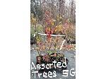 Lot: 49 - (9) Bradford Pear & Maple Trees