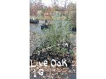 Lot: 51 - (136) Live Oak Trees