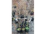 Lot: 55 - (9) Blackgum Trees