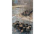 Lot: 60 - (10) American Beautyberry Trees