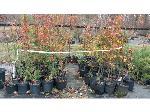 Lot: 64 - (75) Ornamental Pear  Trees