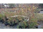 Lot: 66 - (150) Lacebark Elm Trees
