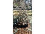 Lot: 93 - (75) Ornamental Pear  Aristocrat