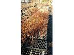 Lot: 155 - (1150) Sweetgum Tree