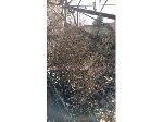 Lot: 159 - (350) Cedar Elm