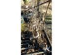Lot: 161 - (90) Bald Cypress Tree