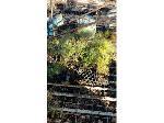 Lot: 162 - (75) Loblolly Pine  & Eastern Red Cedar
