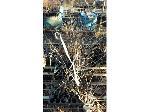 Lot: 164 - (100) Ornamental Pear  Aristocrat   & Cleveland Select