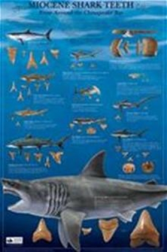 Miocene Shark Teeth Poster