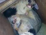 Possum...
