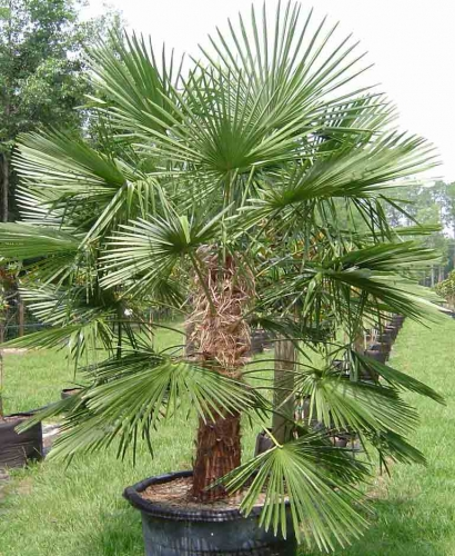Plott Palm Seedling Sale