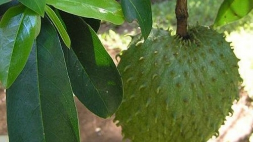 "DEBUNKING THE ARTICLE, "" Toxicology expert raises alarm over potential neurotoxins in graviola/soursop"""