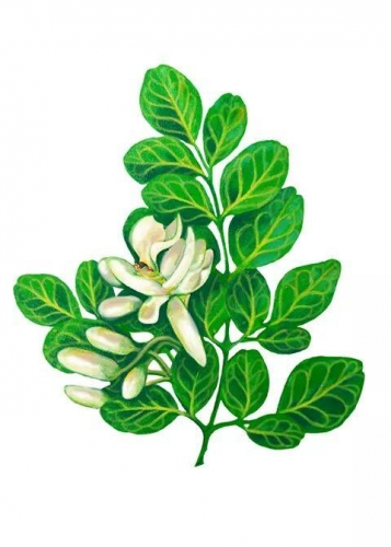 Moringa Can Certainly Reverse Heart Disease &  Atherosclerosis  (cardiovascular disease is preventable) ~E.G. PLOTTPALMTREES COM