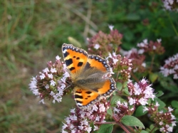 Small Tortoiseshell (Aglais urticae) Butterfly Kit with 10 larvae on leaf. Available now.