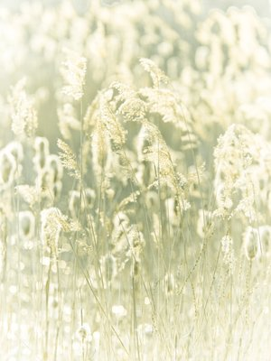 Fine Art Print of Reeds plants close-up by Assaf Frank