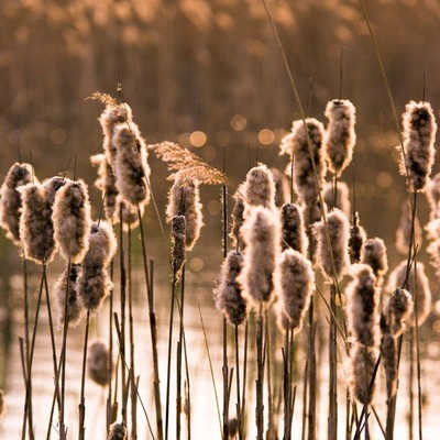 Fine Art Print of Reeds Back Light by Assaf Frank