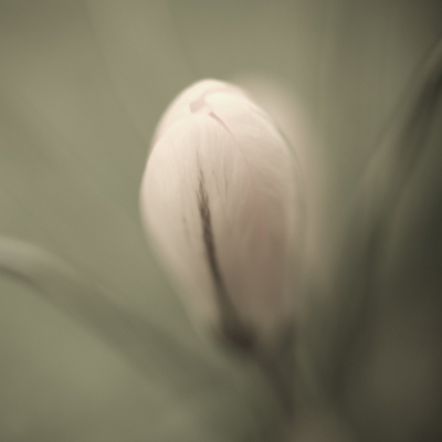 Fine Art Print of Crocus in the Garden by Assaf Frank