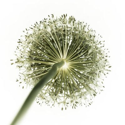 Fine Art Print of Green allium flower, close-up by Assaf Frank