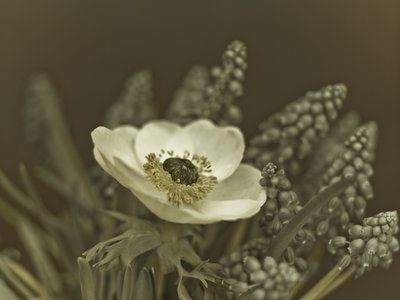 Fine Art Print of Close-up of anemone flower by Assaf Frank