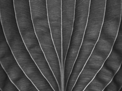 Fine Art Print of Extreme close-up of hosta leaf, full frame by Assaf Frank