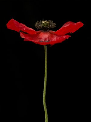 Fine Art Print of Red poppy, close-up by Assaf Frank