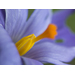 Fine Art Print of Crocus Ornage Stigma by Assaf Frank