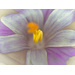 Fine Art Print of Fully Open Crocus by Assaf Frank