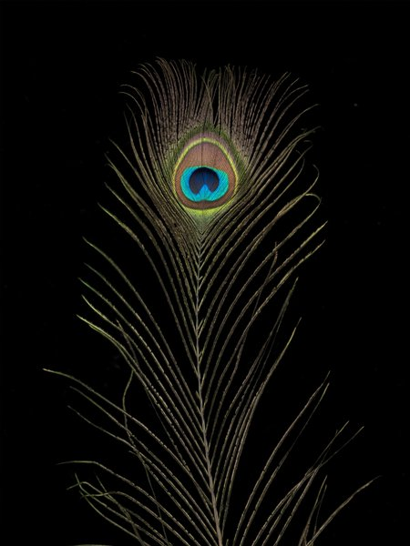 Single Peacock feather Wall Art Prints by Assaf Frank