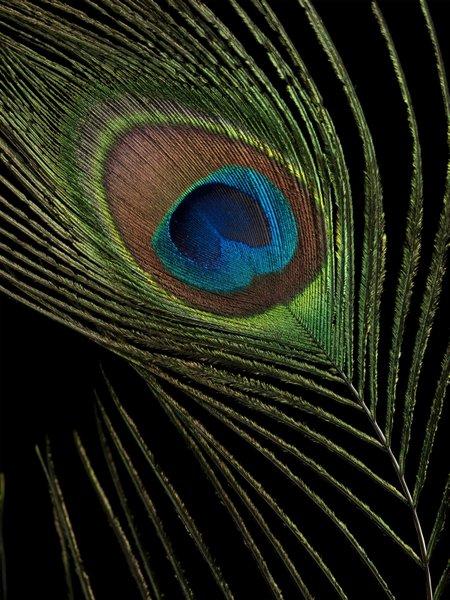 Single Peacock Feather Wallpaper Single Peacock Feather Close