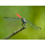 Red Tail Dragon Fly